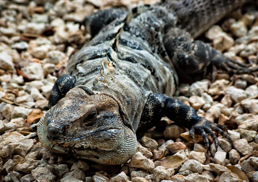 Mexican Iguana on Rocks - Riviera Maya, Mexico