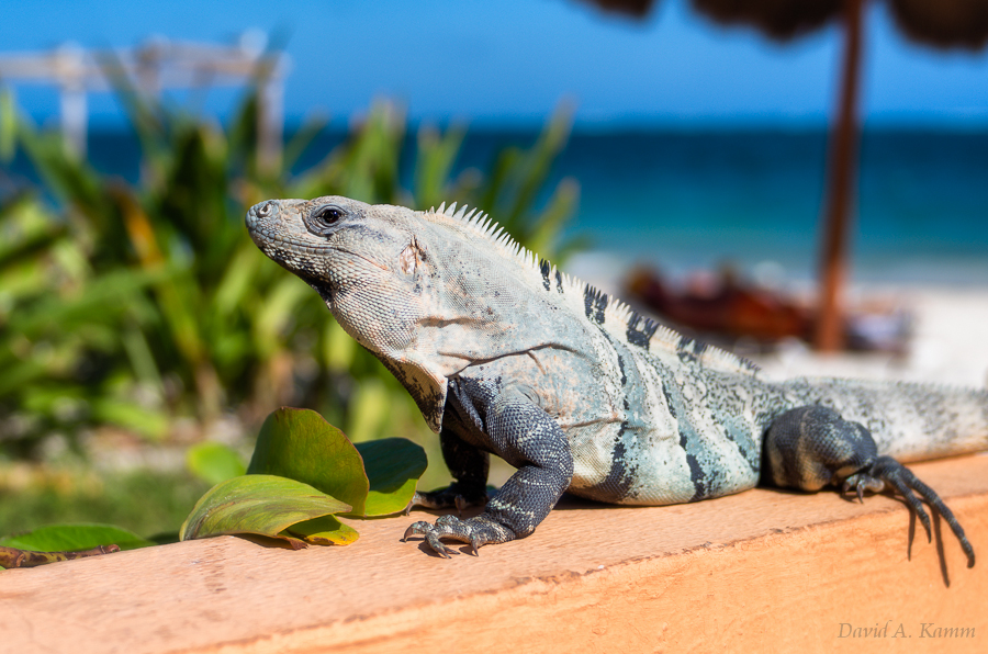 Iguana at a Mexican Resort
