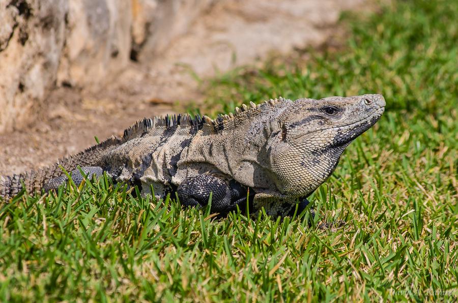 Iguana at Tulum Mexico