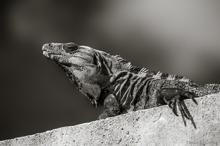 Mexican Iguana Diagonals